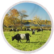 Belted Galloway Cows Grazing On Grass In Rockport Farm Fall Main Round Beach Towel