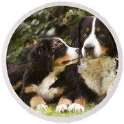 Bernese Mountain Dogs Round Beach Towel
