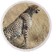 Cheetah Searching For Prey Round Beach Towel