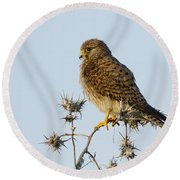 Common Kestrel Falco Tinnunculus Round Beach Towel