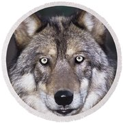Gray Wolf Portrait Endangered Species Wildlife Rescue Round Beach Towel