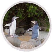 Juvenile Nz Yellow-eyed Penguins Or Hoiho On Shore Round Beach Towel