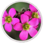 Oxalis Magnifica Round Beach Towel