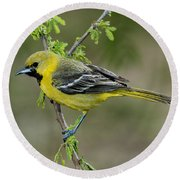Young Orchard Oriole Round Beach Towel