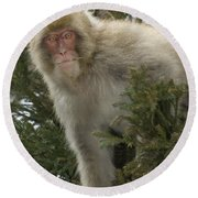 Japanese Macaque Round Beach Towel