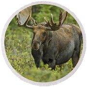Bull Moose In Velvet  Round Beach Towel