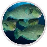 Large School Of Bumphead Parrotfish Round Beach Towel
