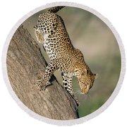 Leopard Panthera Pardus On Tree, Ndutu Round Beach Towel