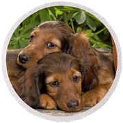 Long-haired Dachshunds Round Beach Towel