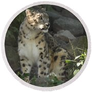Snow Leopard On The Prowl Round Beach Towel