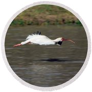 White Ibis In Flight Round Beach Towel