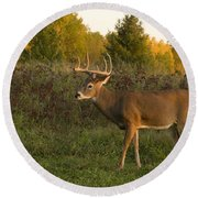 White-tailed Buck In Fall Round Beach Towel