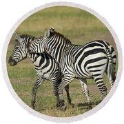 Zebra Males Fighting Round Beach Towel