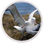 Albatros Royal Diomedea Epomophora Round Beach Towel