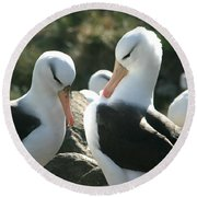 Black Browed Albatross Pair Round Beach Towel
