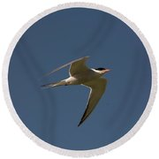 Common Tern, Sterna Hirundo, On Eastern Round Beach Towel