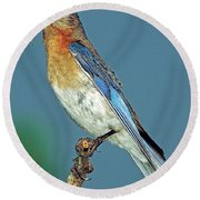 Eastern Bluebird Round Beach Towel