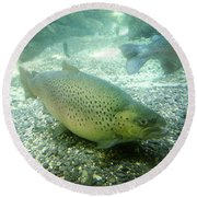 Rainbow Trout Round Beach Towel by Les Cunliffe