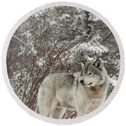 Timber Wolf In Winter Round Beach Towel