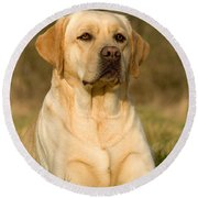 Yellow Labrador Round Beach Towel