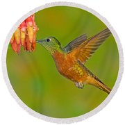 Chestnut-breasted Coronet Round Beach Towel