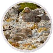 Falkland Steamerduck Round Beach Towel