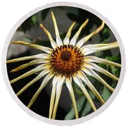 Osteospermum Named African Moon Round Beach Towel