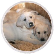 Yellow Labrador Retriever Puppies Round Beach Towel