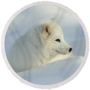 Arctic Fox Round Beach Towel