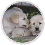 Yellow Labrador Retriever Puppies Round Beach Towel by Linda Freshwaters Arndt