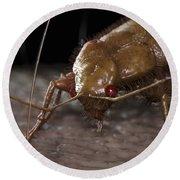 Bedbug Cimex Lectularius Round Beach Towel
