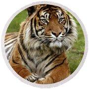 Tigre De Sumatra Panthera Tigris Round Beach Towel