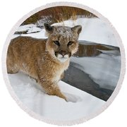 Mountain Lions In The Western Mountains Round Beach Towel