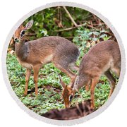 A Couple Of Dik-dik Antelopes In Tanzania. Africa Round Beach Towel