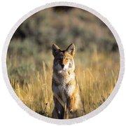 A Coyote Canis Latrans Stares Round Beach Towel