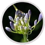 A Glow On Agapanthus Round Beach Towel