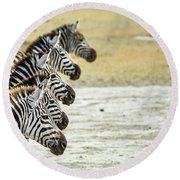 A Grevys Zebra In Ngorongoro Crater Round Beach Towel