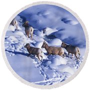 A Group Of Bighorn Sheep Ovis Round Beach Towel
