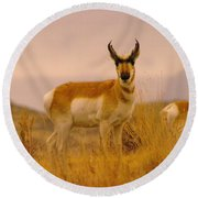 A Pronghorn Gazes Round Beach Towel