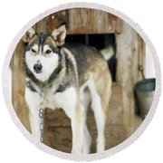 A Sled Dog Stands By Its Kennel Round Beach Towel