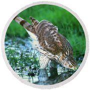 A Wild Juvenile Cooper's Hawk Drinks From A Pond Round Beach Towel