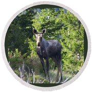 A Young Moose  Round Beach Towel