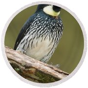 Acorn Woodpecker Melanerpes Round Beach Towel
