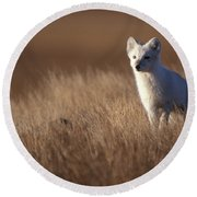 Adult Arctic Fox On The Tundra In Late Round Beach Towel