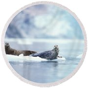 Adult Pacific Harbor Seals On An Ice Round Beach Towel