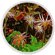 African Daisies In Aswan Botanical Garden On Plantation Island In Aswan-egypt Round Beach Towel