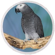 African Gray Parrot Round Beach Towel