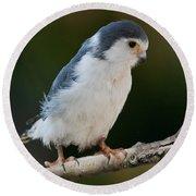 African Pygmy Falcon Round Beach Towel