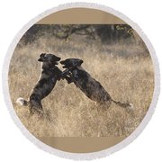 African Wild Dogs Playing Lycaon Pictus Round Beach Towel