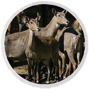 Alert Antelopes Round Beach Towel